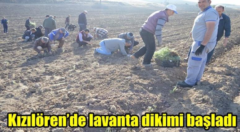 Kızılören'de lavantalar toprakla buluşuyor !!