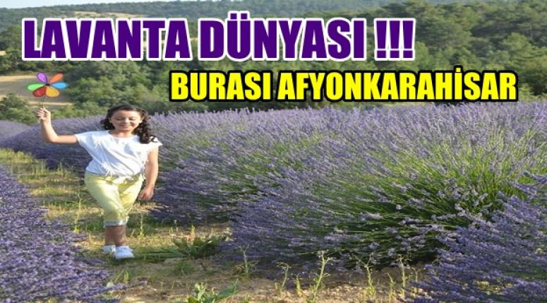 LAVANTA DÜNYASI !! BURASI AFYONKARAHİSAR !!!